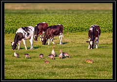 Dining together (M van Eden) Tags: cows anseranser koeien hazen greylaggoose lepuseuropaeus europeanhare graylaggoose grauweganzen