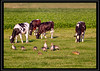 Dining together (M van Eden) Tags: cows anseranser koeien hazen greylaggoose lepuseuropaeus europeanhare graylaggoose grauweganzen