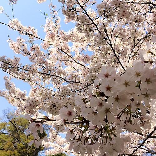 今日の1枚。満開です! #flower  #spring #sakura #kumamoto #japan