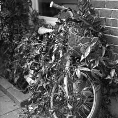 (turquoise monkey) Tags: mamiyac330f shanghaigp3 rodinal standdevelopment mediumformat bike overgrown