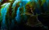 Kelp Forest (jcl8888) Tags: kelp nikon d7200 nauticam sea ocean tokina 1017mm scuba california catalina island