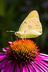 an eastern pale clouded yellow butterfly, Colias erate, on a Echinacea flower (Yunhyok Choi) Tags: echinacea pentax pentaxk3 antenna butterfly closeup compoundeyes fauna flora flower green insect macro nature nectar petal pistil stamen wing yellow seoul southkorea kr