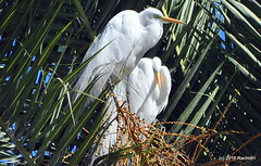 DSC_0900 (rachidH) Tags: birds oiseaux egrets herons aigrette greatwhiteegret garcetagrande ardeaalba whiteheron egrettaalba grandeaigrette plazaitalia buenosaires argentina rachidh nature