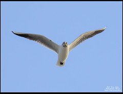 Black-headed Gull (Rey Sta. Ana) Tags: birds philippines cebu olango reystaana