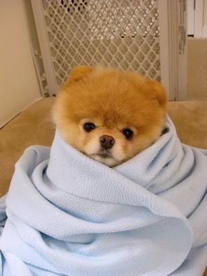boo_Pomeranian_Dog_12