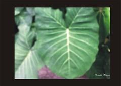 Taióba natural (Roseli Magri) Tags: de plantas fotos e naturais flôres artificiais flôresnaturais flôresartificiais flôreseplantas