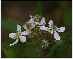 Day 86: Blackberry Blossoms (MickiP65) Tags: travel flowers vacation plants usa plant flower tourism gulfofmexico canon march us spring gulf blackberry florida blossom getaway web blossoms northamerica flowering fl 365 plantae fla 86 blackberries levy allrightsreserved sumner gulfcoast copyrighted 2011 canoneos30d michellepearson websized naturecoast img050 365daysofphotos mickip mickip65 20110327 03272011 mar272011 032711