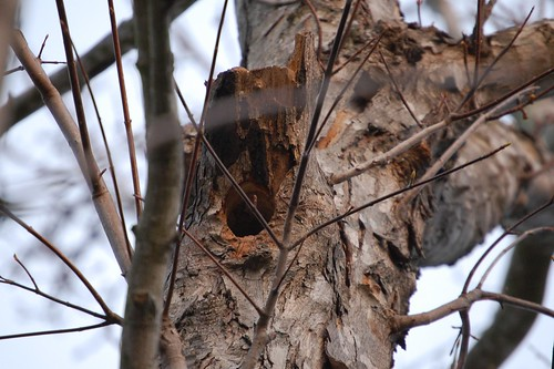 Golden Fronted Woodpecker Nest