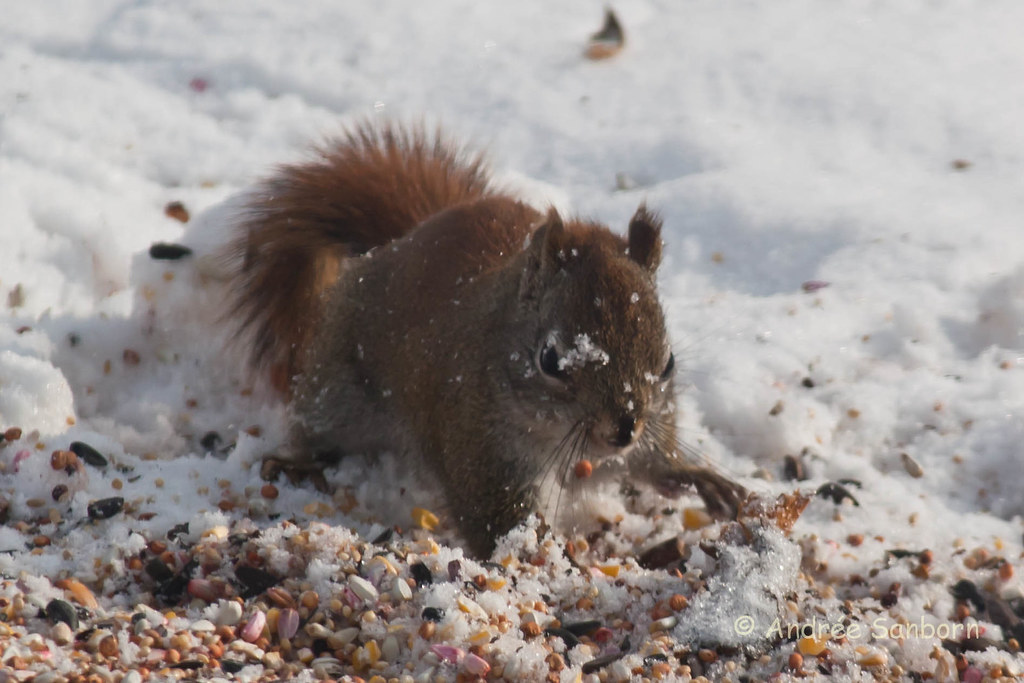 Red Squirrel at the Feeders (13 of 18).jpg