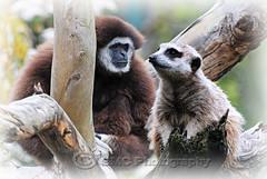 Having a chat (gemcoa) Tags: nature animals zoo meerkat gibbon tarongawesternplainszoo wjitehandedgibbon