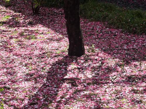 2010 sakura。東京新宿御苑盛開的櫻花 part II