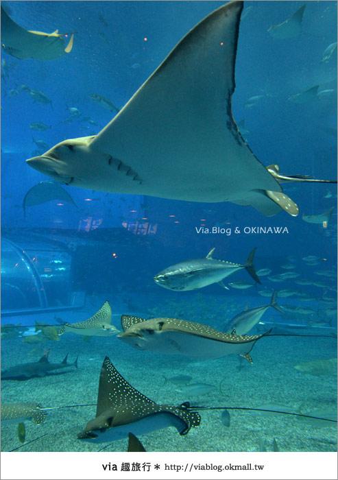 【沖繩景點】美麗海水族館~帶你欣賞美麗又浪漫的海底世界!27