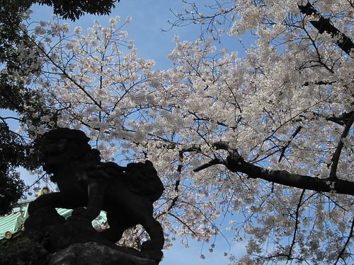 Sakura at Kanda Myoujin