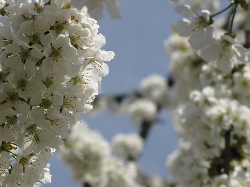 Ciliegio in fiore 4