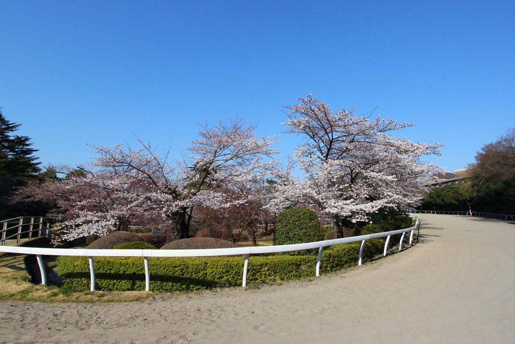 Sakura Photo 2011Bajikouen (10)