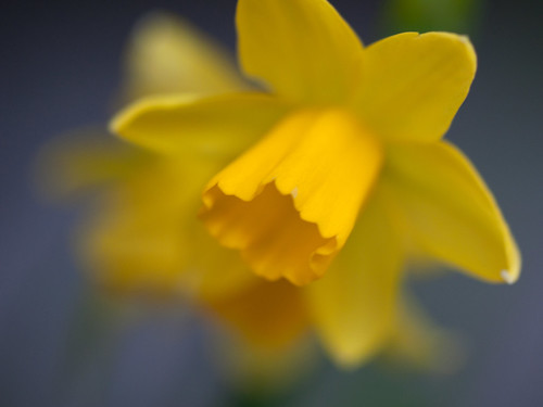 Dreamy Daffodils by The Shutterbug Eye™