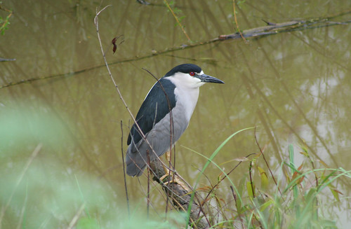 Bleck-crowned Night Heron