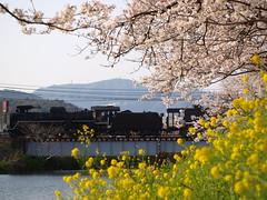 SLやまぐちと桜