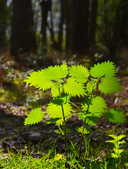 Nettles with backlighting (skipnclick) Tags: light green woodland nikon jour nettles veins dull contra shaft backlighting noticed 18200mm d7000