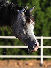 BINT ATHBAH (Majed Al-Shehri   ) Tags: horse festival photography nikon explore saudi about arabian majed 70200mm  shehri       photosandcalendar  d3s alshehri  shehrim imajed