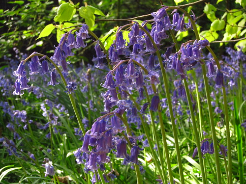Bluebells in Holland Park