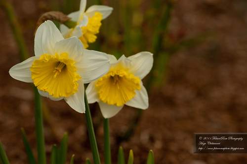 04-12-2011_yellow-white_daffodils_wm