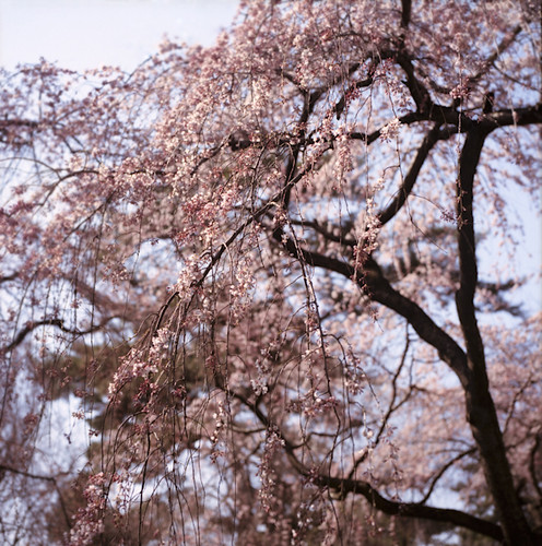 糸桜 **