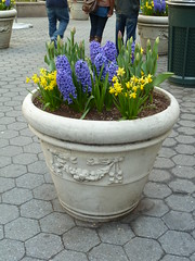 A very pretty Spring planter full of daffodils and hyacinths in NYC (2011) (Dave the Save) Tags: nyc usa plant newyork flower america spring unitedstates pot daffodil flowerpot planter hyacinth 2011