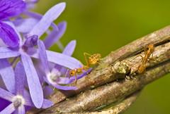 Weaver Ants And Purple Flowers (aeschylus18917) Tags: danielruyle aeschylus18917 danruyle druyle ダニエルルール ダニエル ルール nikond700 nikon d700 thailand ราชอาณาจักรไทย ratchaanachakthai thai macro nature 105mmf28 nikkor105mmf28gvrmicro chiangmai เชียงใหม่ flowers blue 花 季節 seasons spring purple 105mmf28gvrmicro insect ant hymenoptera apocrita vespoidea formicidae coleoptera weaverant ants oecophylla oecophyllasmaragdina アリ 甲虫 兜虫 105mm pxt