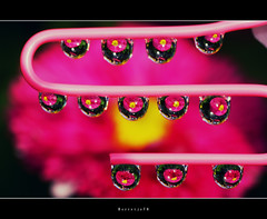 Friday 13 . . . . . . . . . . .Flowers (Borretje76) Tags: pink light abstract black flower color colour macro reflection art water netherlands dutch yellow metal iso100 licht drops wire artistic sony sigma f16 refraction glimmen geel zwart enschede waterdruppels roze bloem druppel kleur reflectie lijn punaise druppels 180mm ranonkel glinstering sparkel reflecties glinster microworld kunt minoltaamount gupr borretje76 dslra580 sonya580samplepictures sonya580sampleimages