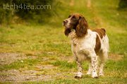 This intelligent Spaniel named Bugis lives on the lavender fields of the Valensole plateau.
