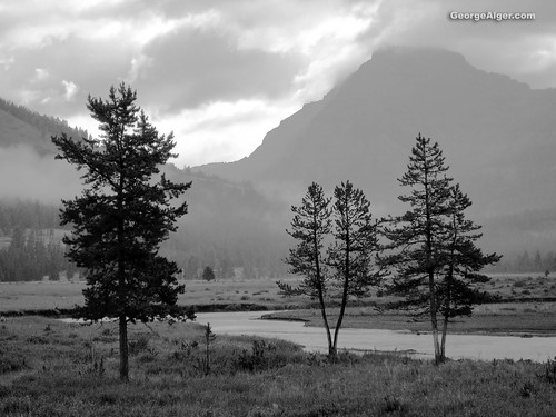 Three Trees: Yellowstone National Park