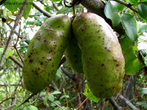 Frutos  de <i>Lardizabala biternata</i>, denominados C�g�iles.