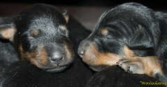 Jagdterrier pups