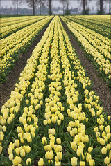Yellow Field of Tulips in Holland (Foto Martien) Tags: holland color colour netherlands dutch yellow bulb season spring tulips colorfull ui may nederland tulip april mei noordoostpolder bol lente coloured geel flevoland tulipfield tulipa tulipe tulpen kleurrijk tulpe dutchlandscape tulp bulbfield kleuren polychrome voorjaar bollenveld bont tulpenveld veelkleurig kleurig lâle tulpenfeld cultivatedflower nederlandslandschap tulpenbol a550 tulpenfestival tulpenroute campodetulipanes martienuiterweerd carlzeisssony1680 champdetulipes martienarnhem symbolofholland symbolofthenetherlands sonyalpha550 mygearandme mygearandmepremium martienholland mygearandmebronze mygearandmesilver mygearandmegold mygearandmeplatinum mygearandmediamond fotomartien tulpenakker campoditulipano lalealan gecultiveerdebloem botanischetulp gekweektetulp