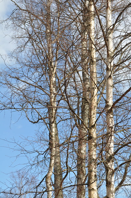 kased/birches
