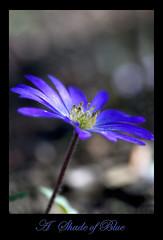 A Shade of Blue (Corkneyfonz) Tags: blue flower closeup bokeh bloom oofhighlights mygearandme mygearandmepremium mygearandmebronze mygearandmesilver mygearandmegold mygearandmeplatinum mygearandmediamond artistoftheyearlevel3 artistoftheyearlevel4 flickrstruereflection1 flickrstruereflection3 flickrstruereflection4 flickrstruereflection5 flickrstruereflection6 flickrstruereflection7 artistoftheyearlevel5