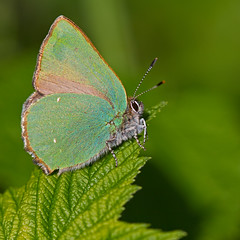 Argus vert (Callophrys rubi) Green Hairstreak (Sinkha63) Tags: france macro nature butterfly spring wildlife papillon printemps insecte corrze argus limousin insecta lycaenidae greenhairstreak theclinae lycaeninae callophrys callophrysrubi argusvert thcla thcladelaronce