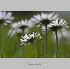 gnseblmchen  margheritina  daisy  pquerette  margarita (oliver's | photography) Tags: flowers beautiful fauna photoshop canon eos flora flickr raw image  100mm adobe f28 springtime copyrighted pixelwork canoneos50d oliverhoell pixelwork11photography allphotoscopyrighted
