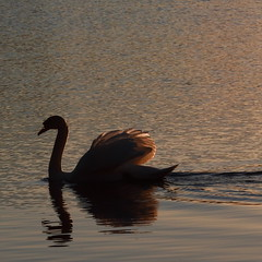 Motlys (bjarne.stokke) Tags: lake norway canon norge swan swans april vann 135mm rogaland haugesund sj svaner 500d 2011 swane siluett motlys svane reflekser ef135mmf2lusm natureselegantshots canoneosrebelt1i doublyniceshot tripleniceshot mygearandme mygearandmepremium mygearandmebronze mygearandmesilver haraldsvag galleryoffantasticshots aboveandbeyondlevel1 aboveandbeyondlevel2 aboveandbeyondlevel3 rememberthatmomentlevel4 rememberthatmomentlevel1 rememberthatmomentlevel2 rememberthatmomentlevel3 rememberthatmomentlevel7 rememberthatmomentlevel9 rememberthatmomentlevel5 rememberthatmomentlevel6 rememberthatmomentlevel8 vigilantphotographersunite vpu2 vpu3 vpu4 vpu5 vpu6 vpu7 vpu8 vpu9 vpu10