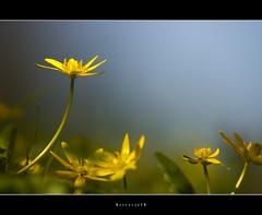 Flowers in a micro world, sony A580 (Borretje76) Tags: flowers flower holland macro netherlands dutch field yellow iso100 dof sony ngc f45 glimmen enschede depth bloem bloemetjes speenkruid gupr borretje76 dslra580 sonya580samplepictures sonya580sampleimages