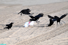 FoodFight (mcshots) Tags: california usa bird beach birds trash neck coast losangeles stock flight strangle socal plasticbag crow mcshots twisted