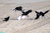 FoodFight (mcshots) Tags: california usa bird beach birds trash neck coast losangeles stock flight strangle socal plasticbag crow mcshots twisted