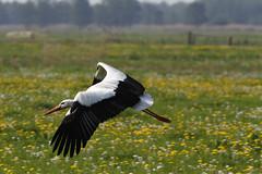 Ooievaar (NLHank) Tags: bird nature dutch birds canon eos wildlife ngc vogels natuur 7d 70200 stork vogel natuurmonumenten storch ooievaar wieden eos7d