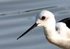 primo piano del cavaliere (andrea0250) Tags: nikon natura uccelli uccello bentivoglio larizza d300s andrea0250