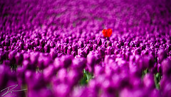 Standing Out In The Crowd (IanLudwig) Tags: canon washington spring dof bokeh depthoffield tulip 5d mountvernon tulipfestival mkii canon70200mmf28lisusm canon5dmarkii 4232011