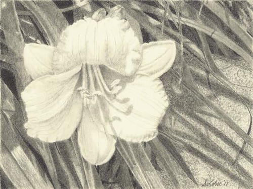 Stella d'Oro, graphite