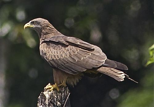 Milhafre -negro (milvus parasitus). S.Tomé