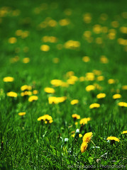 (Joe Papagoda) Tags: flowers plants green yellow spring weeds dof bokeh d2x micro april 105 nikkor