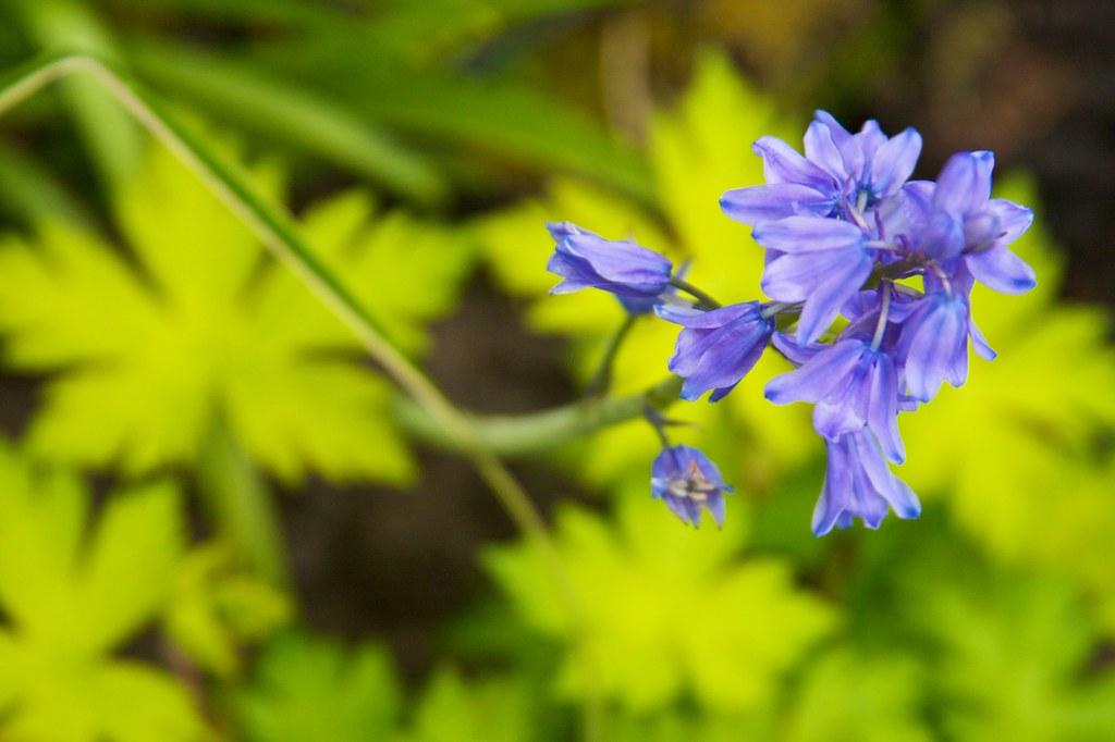 blubell and geranium ann folkard  233